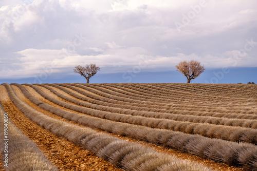 Fotobehang Lavendel Champ de lavande en fin d'hiver, debut de printemps. Plateau de Valensole, France, Provence.