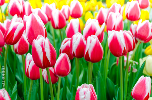 Pink whitet tulips, in spring, under the bright sun in the garden of Keukenhof-Lisse, Holland
