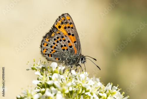 Foto op Plexiglas Natuur Butterfly in nature (Tomares nesimachus)