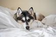 Cute Siberian Husky snuggled up on bed