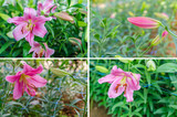 Beautiful pink lily flowers in garden