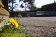Dandelions in the road in spring - 199893678