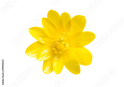 Foto Murales Yellow spring flower isolated