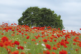 Summer tree in the red poppy's field