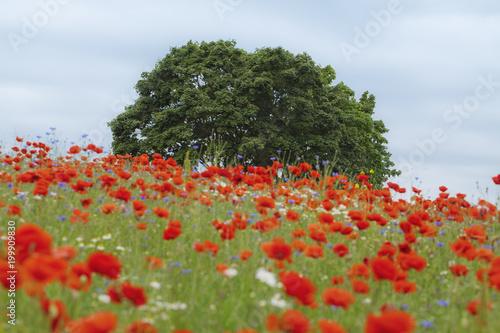 Foto op Canvas Klaprozen Summer tree in the red poppy's field
