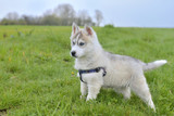 puppy husky standing in the grass
