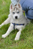 cute puppy husky portrait lies on grass next to its master