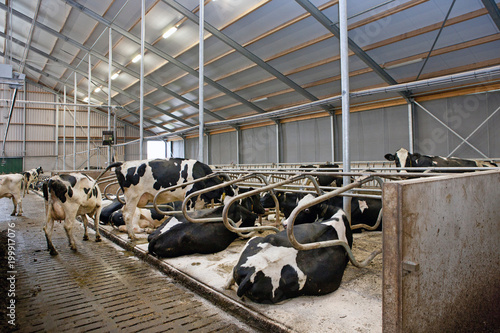 Aluminium Gebouw in Puin Cows in stable. Cattle breeding. Farming. Resting