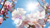 Glückwunsch, alles Liebe: zarte, duftende Mandelblüten vor blauem Frühlingshimmel :) - 199932841