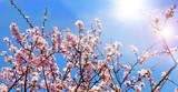Glückwunsch, alles Liebe: Zarte, duftende, verträumte Kirschblüten vor blauem Frühlingshimmel :) - 199933048