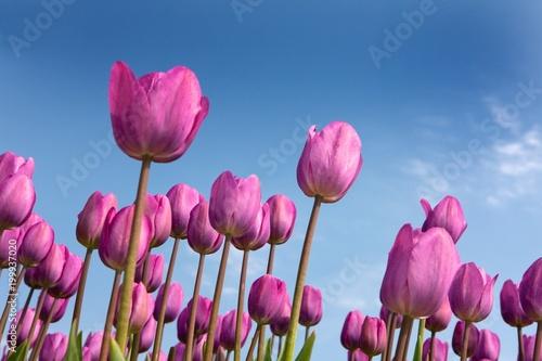 Flowering tulips in polder
