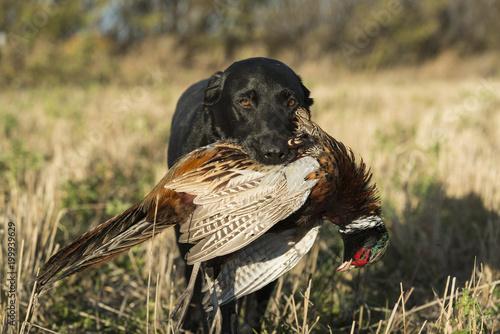 Czarny Labrador Retreiver z Ringnecked Bażantem w Południowym Dakota