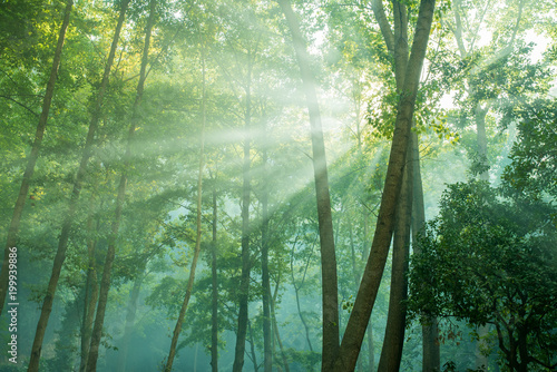 Fototapeta forest trees. nature green wood with sunlight