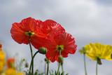 Pavots rouges et jaunes au printemps