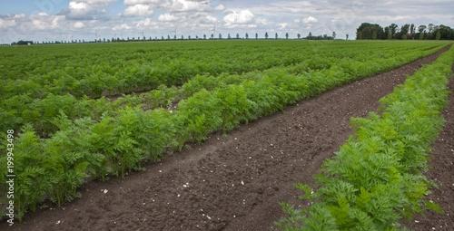 Deurstickers Wijngaard Field of growing carrots. Agriculture polder