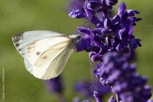 white tender butterfly pieris sits on a flower in a summer park or in a field