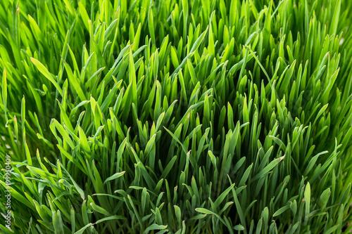 Fotobehang Gras green grass, lawn, turf, summer lawn