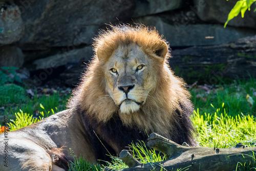 Plexiglas Lion Löwe - Panthera leo
