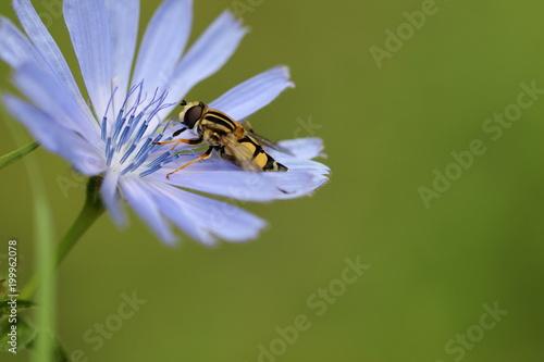 Foto Murales Insekt auf blauer Blüte vor grünem Hintergrund