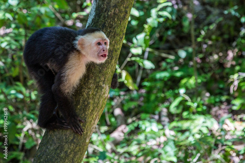 Fotobehang Aap Capuchin Monkey Sitting in a Tree