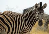 Fototapeta Zebrafohlen
