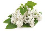 Many white flowers. - 199967615