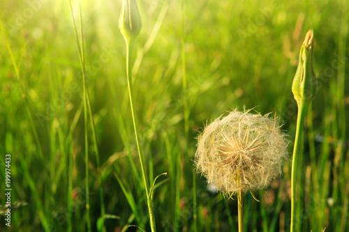 Spring flowers dandelions in green grass. - 199974433