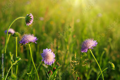Bloomin Scabiosa caucasica flowers in the sunset. - 199976018