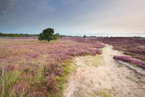 path through meadows with flowering heather - 199985413