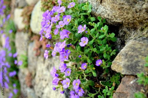 Fotobehang Baksteen muur Blaue Blümchen wachsen aus Mauer