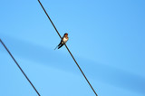 Swallow bird sitting on wires against the blue sky - 199987839