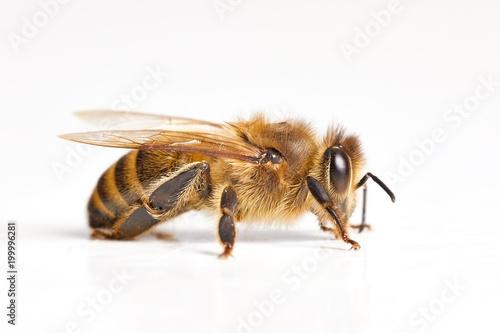 Plexiglas Bee Bee on white background