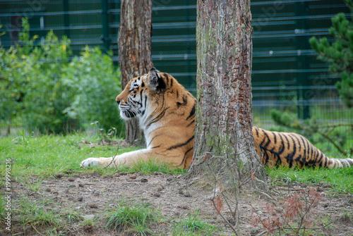 tygrys przy drzewie