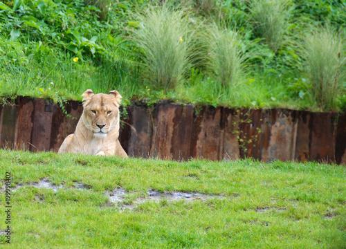 Plexiglas Lion Beautifull Animal