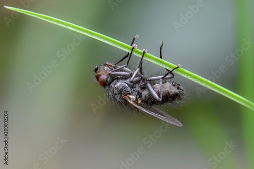 Foto Murales Fly on grass macro close up