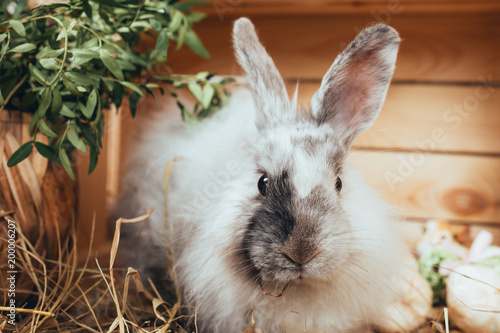Foto Murales Easter Bunny walking through the straw. decorative pet: fluffy Bunny. concept: healthy food and dietary meat. pet against a wooden fence, fresh spring flowers. Wallpaper for desktop