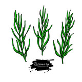 Rosemary vector drawing set. Isolated plant with leaves. - 200008066