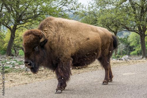 Aluminium Bison bison in road