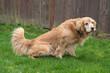 Golden Retriever Dog peeing in the yard