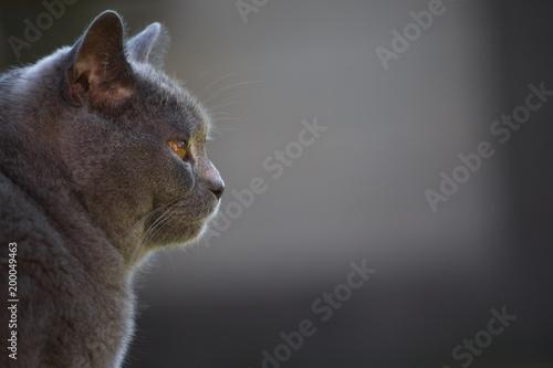 Kot brytyjski krótkowłosy wygląda na prawo