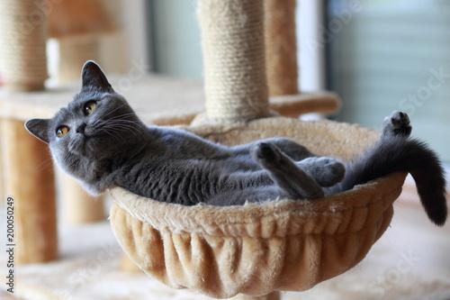 Fotobehang Kat Britisch Kurzhaar Katze relaxed in Ihrer Hängematte