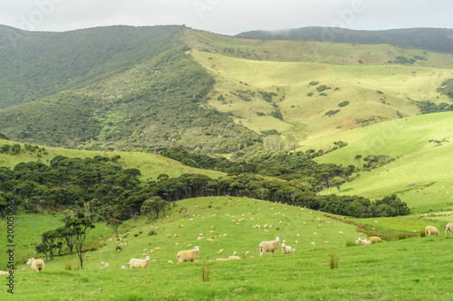 Fotobehang Gras sheep herd grazing on beautiful green field on cloudy day, New Zealand