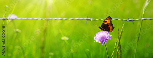 Orange butterfly on purple caucasian scabious and metal fence. - 200061691