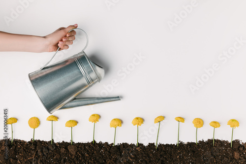 cropped shot of woman watering yellow chrysanthemum flowers in ground isolated on white