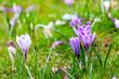 Violet crocuses in the park