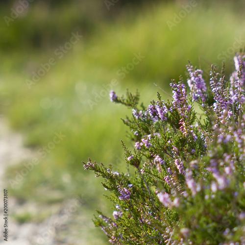 Kwitnący wrzos w parku narodowym Maasduinen w holandiach