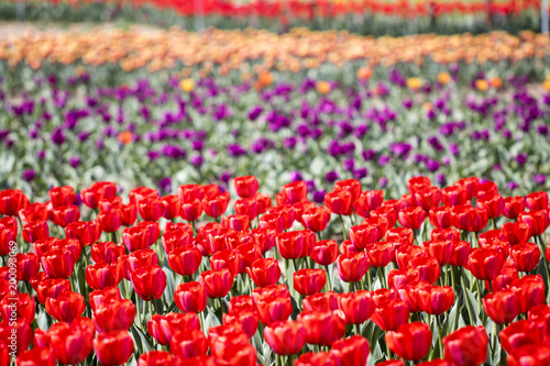Fotobehang Rood traf. Beautiful spring tulips on the field