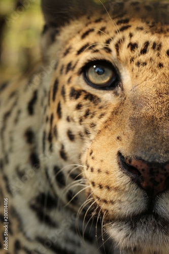 Fototapeta Close up Portrait / Face of a Big Cat / Leopard