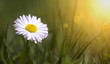 Springtime, spring concept - web banner of a white daisy flower in green grass with blank, copy space - Mother's day card idea
