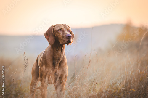 obraz lub plakat Hungarian hound pointer vizsla dog in autumn time in the field